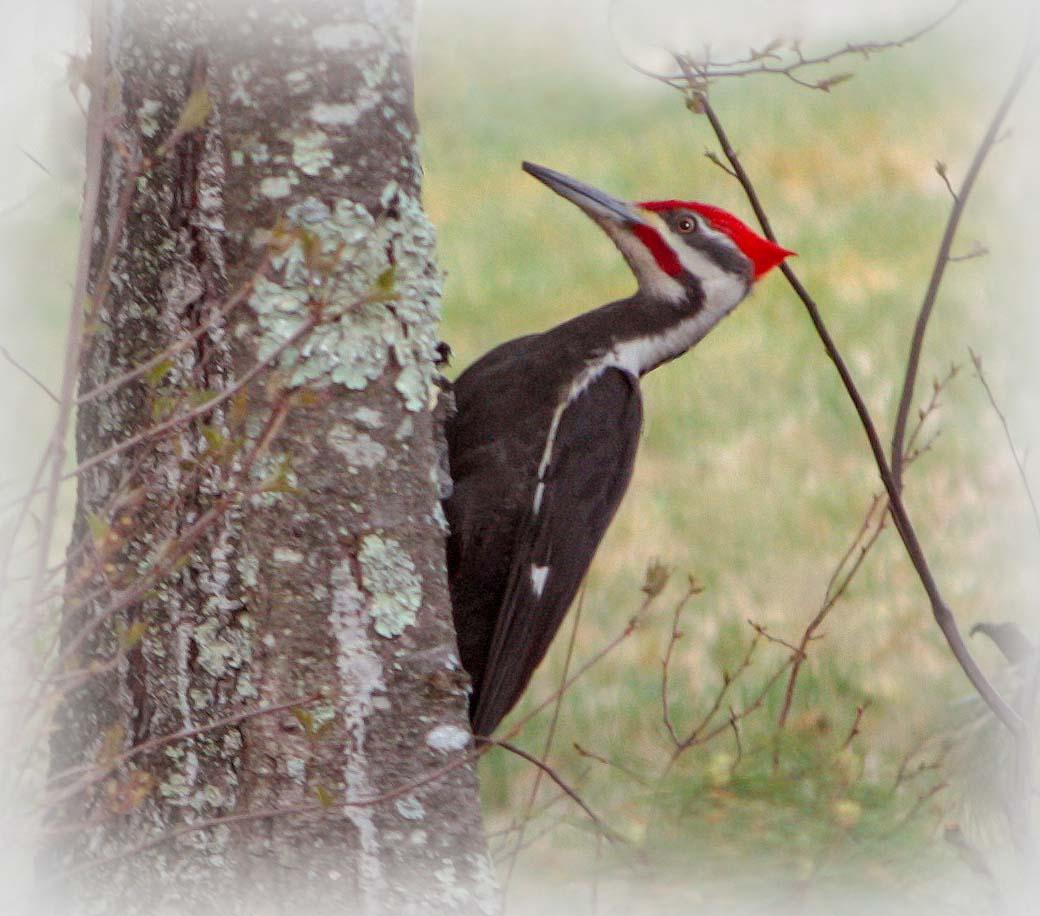 Pileated Woody Woodpecker